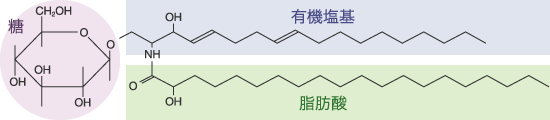 スフィンゴシン構造